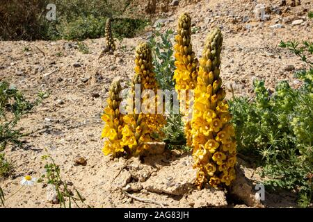 Yellow or desert broomrape, Cistanche tubulosa.  This plant is a parasitic member of the broomrape family. Photographed in the Negev Desert, Israel