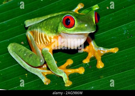 Red eye tree frog, Agalichnis callidryas,Pacific slope variety Near Dominical, Costa Rica, - Stock Photo