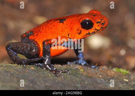 Strawberry Poison-dart Frog (Dendrobates pumilio), Costa Rica - Stock Photo