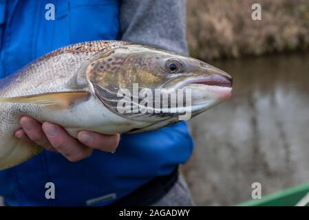 Zerbst, Saxony-Anhalt, Germany. 18th Dec 2019. view of a salmon weighing four kilos. It was caught during a trial fishing by scientists of the Institute for Inland Fisheries with an electric landing net, measured, marked and put back into the river. The action proved that some salmon had returned to the Nuthe near Zerbst to spawn in the International Year of Salmon 2019. They were there years ago when young salmon were released and migrated to the Atlantic and are now returning. Credit: Mattis Kaminer/Alamy Live News - Stock Photo