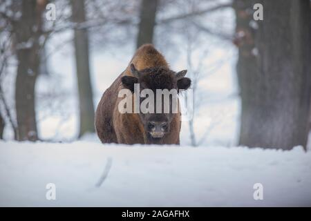 European bison, bison bonasus, in the forest with snow. - Stock Photo