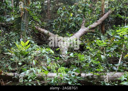 Fallen tree trunks on the rainforest floor with small plants growing over and around in the Amazon in Tambopata, Peru - Stock Photo