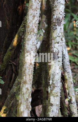 Close up of the stilt like, thorny roots on the Walking Palm, Socratea exorrhiza, in the Amazon rainforest in Tambopata, Peru - Stock Photo