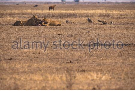 Two female Lions (Panthera leo) eating their prey in the savannah of the Ngorongoro Crater - spoted during Game Drive / Safari in Tanzania, Africa - Stock Photo