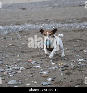 A white and tan Jack Russell terrier running over stones on a beach with a blue ball in his mouth - Stock Photo