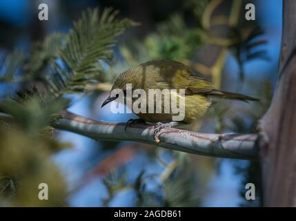 A wild native bell bird perched on a tree branch with a blurred background in New Zealand - Stock Photo