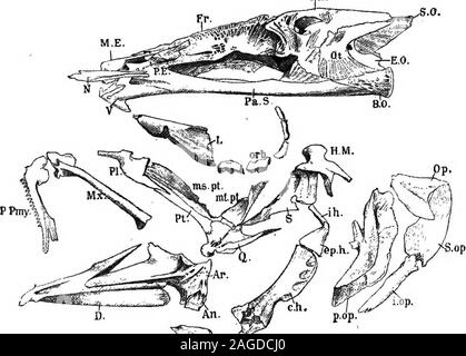 . Outlines of zoology. Tig. 294.—Cau-dal vertebraof haddock. .«.a., Neural arch ;c, centrum;h.a,^ haemalarch. SKELETON. 553 c) Along the floor : basi-occipital, parasphenoid, vomers. id) Around the ear on each side: sphenotic, pterotic, and epiotic (above), prootic and opisthotic (beneath).ie) In front of and around the orbit: parethmoid, lachrymal, orbit^ls. Thus the haddocks skull shows in two respects an ad- Pa.. V ,A U.. orbitals; H.M., .hyomandibular; ^.,symplectic; ^., quadrate; Pt., pterygoid; »z/.^^., metaptery-gold; ?«^./^.,_ mesbpterygoid; PL, palatine; Mx., maxilla/*wy/., premaxill - Stock Photo