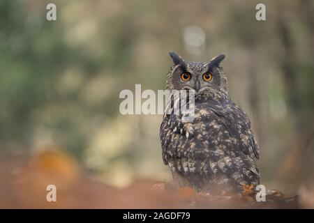 Eurasian eagle-owl in beaty blured forest background. Bubo bubo