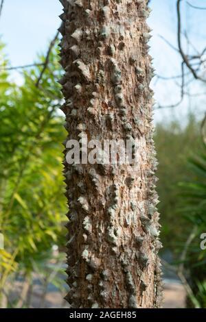 Closeup textured of the trunk of Kapok tree, Red silk cotton tree, Bombax ceiba tree in the garden, thorny bark - Stock Photo
