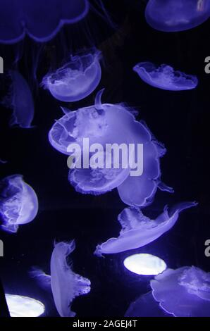 A closeup of jellyfishes in the water under a blue lamp light against a dark background - Stock Photo