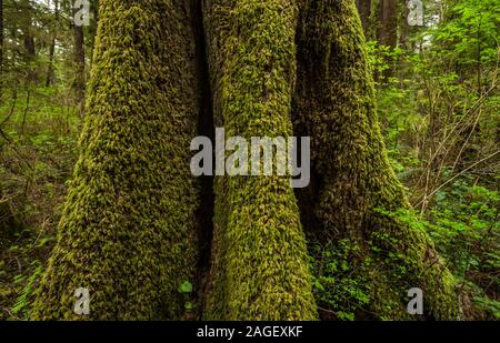 Moss covered tree trunk, Olympic National Park near Mora Campground, Washington, USA. - Stock Photo