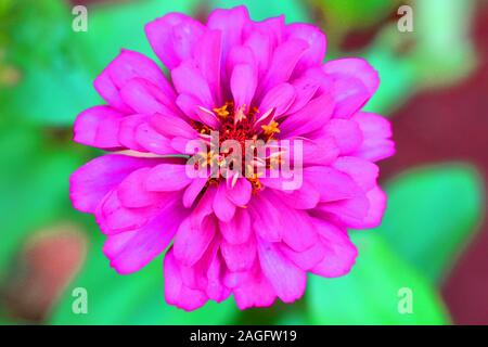 close up of marigold flower pink color - Stock Photo