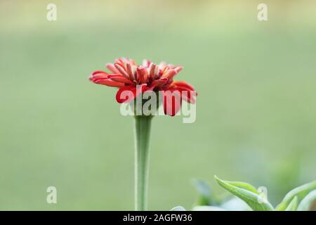 red color marigold flower - Stock Photo