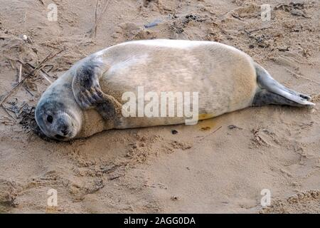Weaned Atlantic Grey Seal pup (Halichoerus grypus atlantica) and newborn pup on Horsey beach, Norfolk. , a major breeding colony for this animals. - Stock Photo