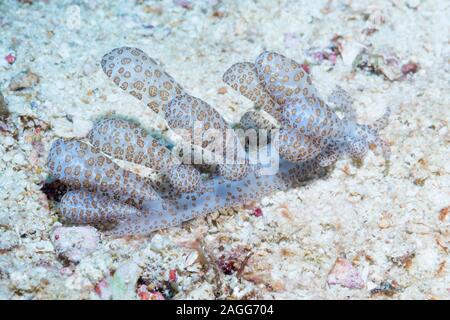 Nudibranch - Solar Powered Phyllodesmium [Phyllodesmium longicirrum].  West Papua, Indonesia.  Indo-West Pacific. - Stock Photo