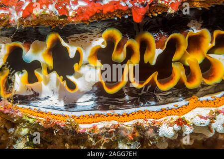 Thorny oyster [Spondylus varians], pattern of mantle.  North Sulawesi, Indonesia. - Stock Photo