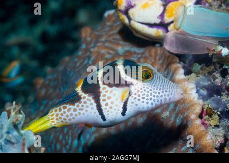 Black-saddled Toby or Valentine's Pufferfish [Canthigaster valentini].  Lembeh Strait,  North Sulawesi, indonesia.