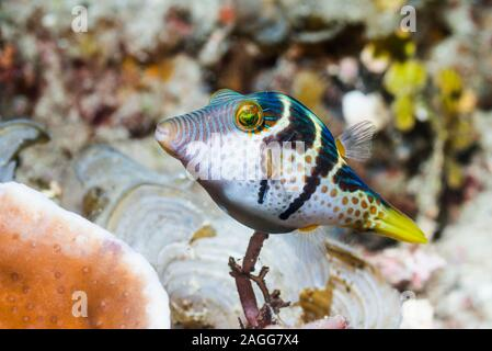 Bladk Saddled Toby, Valentine's puffer [Canthigaster valentini].  West Papua, Indonesia.  Indo-West Pacific.