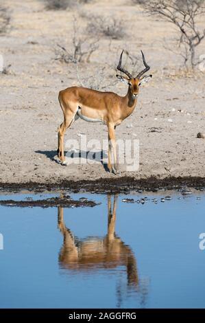 Impala (Aepyceros melampus), Kalahari, Botswana - Stock Photo
