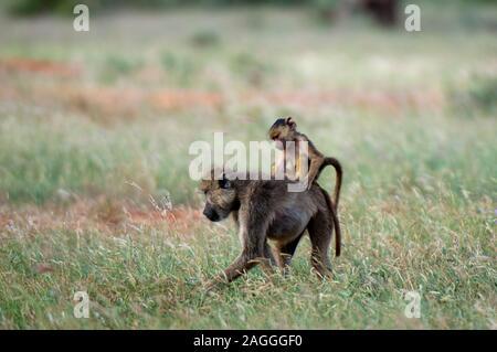 Yellow baboon (Papio hamadryas cynocephalus) and infant, Tsavo East National Park, Kenya - Stock Photo