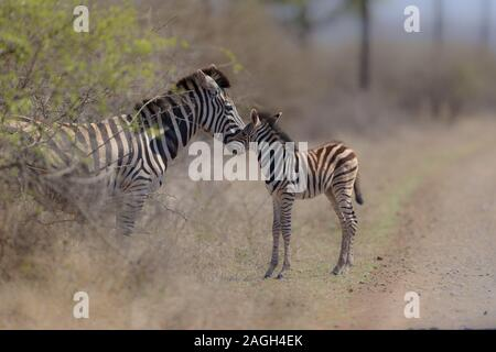 A selective focus shot of a  baby zebra standing near its mother - Stock Photo