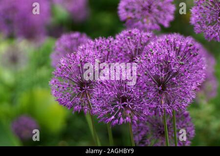 Many round purple onion flowers in the garden. Allium rosenbachianum is a plant species found in the cultivated as an ornamental. - Stock Photo