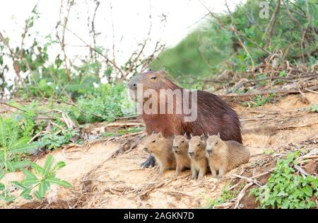 Close up of Capybara mother with four pups sitting on a river bank, North Pantanal, Brazil. - Stock Photo