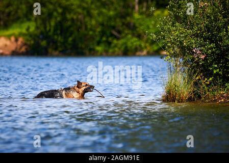 German Shepherd Dog Playing Fetch in Lake - Stock Photo