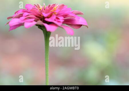 marigold flower pink color close up - Stock Photo
