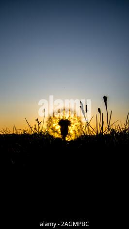 One of the most common flowers / weeds known, a Dandelion. With it's flourishing wishes it provides an overlooked beauty to the countryside. - Stock Photo