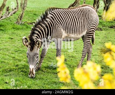 Grevy's Zebra 'Equus grevyi' Adult animal in captivity at Chester Zoo England. - Stock Photo