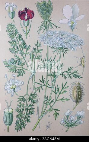 Digital improved high quality reproduction: Daucus carota, whose common names include wild carrot, bird's nest, bishop's lace, and Queen Anne's lace, North America, is a white, flowering plant in the family Apiaceae  /  Möhre, Pflanzenart in der Familie der Doldenblütler - Stock Photo