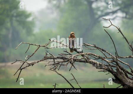 western marsh harrier or Circus aeruginosus a harrier perched on tree trunk with green background and painted stork flying in background at keoladeo - Stock Photo
