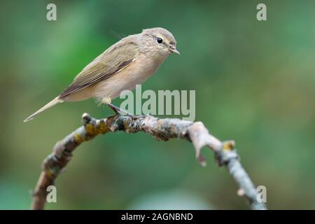 The common chiffchaff, or simply the chiffchaff, (Phylloscopus collybita) is a common and widespread leaf warbler which breeds in open woodlands throu - Stock Photo