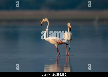 The greater flamingo is the most widespread and largest species of the flamingo family.