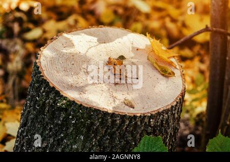 Cut of a tree cut by chainsaw in the forest. - Stock Photo