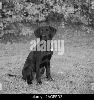 Against a blurred soft-focussed background, a young Labrador sits ready during outdoor training, eyes bright and fixed, anticipating a call to action. - Stock Photo