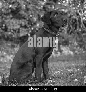 Against a blurred soft-focussed background, a young Labrador sits ready during outdoor training, eyes bright and fixed, apprehending the next command. - Stock Photo