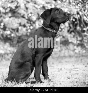 Against a blurred soft-focussed background, a young Labrador sits ready during outdoor training, eyes bright looking up, waiting for the next command. - Stock Photo