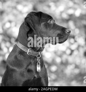 Against a blurred soft-focussed background, a young Labrador is distracted during outdoor training, her ear having picked up the sound of another dog. - Stock Photo