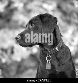 Against a blurred soft-focussed background, a young Labrador is distracted during outdoor training, her eyes fixed on something she finds interesting. - Stock Photo