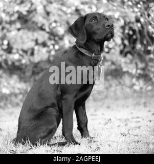Against a blurred soft-focussed background, a young Labrador is distracted during outdoor training, her eyes fixed on a noisy bird flying overhead. - Stock Photo