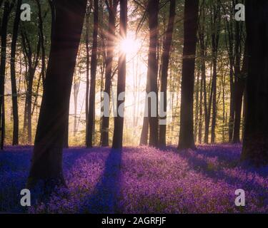 Epic Spring landscape image of vibrant bluebell flowers in woodland - Stock Photo