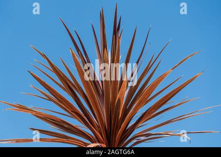 Translucent Cordyline australis 'Torbay Red' plant leaves against clear blue sky background in Summer - Stock Photo