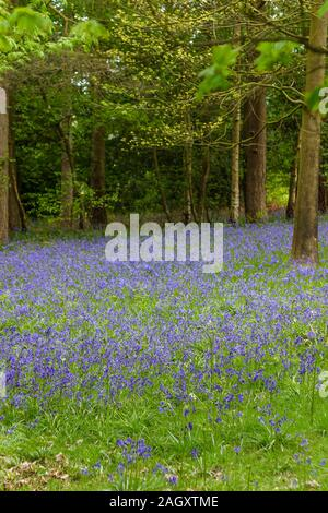 Carpet of English common bluebells (Hyacinthoides non-scripta) in flower in springtime in bluebell woods near Godalming, Surrey, England - Stock Photo
