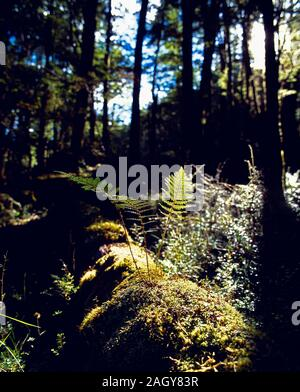 New Zealand. South Island. Ferns growing in woodland. - Stock Photo