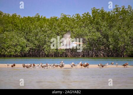 A group of birds stand on a sandy beach in Saloum Lagoon, Senegal. It is a wildlife photo of ducks, seagulls and flying pelican. It is a bird Stock Photo