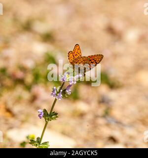 Niobe Fritillary butterfly Argynnis niobe basking in the sun on a flower head in the  Montes Universales at Noguera Eastern Spain - Stock Photo