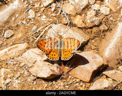 Niobe Fritillary butterfly Argynnis niobe basking in the sun on rocks in the Spanish countryside in the Montes Universales at Albarracin Eastern Spain - Stock Photo