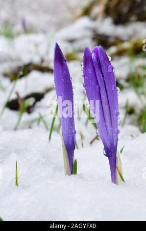 Two violet Crocuses in melting snow with sleet drops on petals - Stock Photo